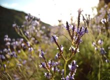 Lavender bloom  Stock Photography