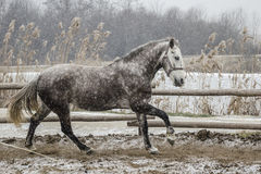 Winter canter royalty free stock photography