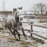 Winter canter royalty free stock photo