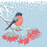 Winter Card with Bullfinch on the branch of rowan. Winter blue snowy card with beautiful bright Bullfinch on the branch of red rowan and empty place for your royalty free illustration