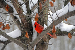 Winter Cardinal Stock Photography