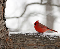 Winter cardinal. Cardinal sitting on a tree branch in the snow Stock Images