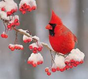 Winter Cardinal. A beautiful male Northern Cardinal on a snowy hawthorn branch laden with bright red berries royalty free stock photo