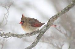 During Winter cardinal fêmea em NY imagens de stock royalty free