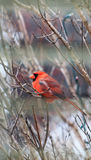 Winter Cardinal Royalty Free Stock Photography