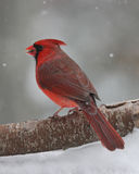 Winter Cardinal. A male Northern Cardinal (Cardinalis cardinalis) perching on a branch on a snowy day in winter Stock Photos