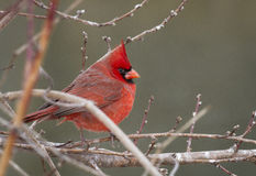 Winter Cardinal Royalty Free Stock Images