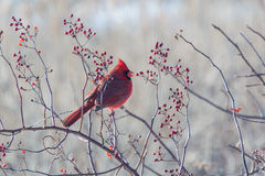 Winter cardinal Stock Photo