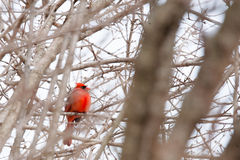 Winter: Cardinal in a Snow Covered Tree Royalty Free Stock Photography