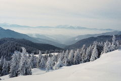 Winter Carpathians. High firs, snow-capped, in the mountains of Carpathians Stock Image