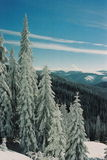 Winter Carpathians. High firs, snow-capped, in the mountains of Carpathians Royalty Free Stock Image