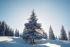 Winter Carpathians. High firs, snow-capped, in the mountains of Carpathians Stock Photos