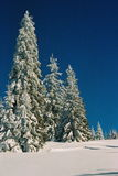 Winter Carpathians. High firs, snow-capped, in the mountains of Carpathians. Visible grain Stock Images