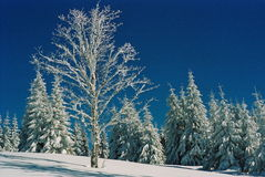 Winter Carpathians. High firs, snow-capped, in the mountains of Carpathians. Visible grain Stock Photography
