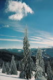 Winter Carpathians. High firs, snow-capped, in the mountains of Carpathians. Visible grain Stock Photos