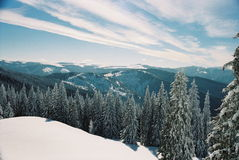 Winter Carpathians. High firs, snow-capped, in the mountains of Carpathians, Visible grain Stock Photography