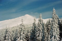 Winter Carpathians. High firs, snow-capped, in the mountains of Carpathians. Visible grain Royalty Free Stock Photos