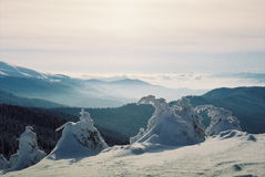 Winter Carpathians. High firs, snow-capped, in the mountains of Carpathians. Visible grain Stock Image