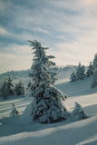 Winter Carpathians. High firs, snow-capped, in the mountains of Carpathians. Visible grain Royalty Free Stock Photography