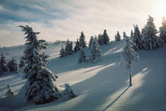 Winter Carpathians. High firs, snow-capped, in the mountains of Carpathians. Visible grain Stock Photo