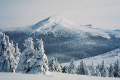 Winter Carpathians. High firs, snow-capped, in the mountains of Carpathians. Visible grain Royalty Free Stock Images