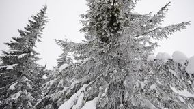 Fir tree in the snow. stock footage