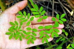 Winter Cassia, Christmas Cassia leaf. Winter Cassia, sometimes called Christmas Cassia, can be grown in zones 9 – 11, and is an excellent host plant for stock photos