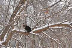 Winter Cat on a Tree. A wild cat living in forest and sitting on a tree in wintertime Stock Images
