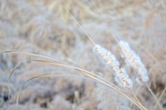 Winter cattail. The close-up of winter cattail. Scientific name: Typha orientalis stock photo