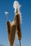 Winter cattails. Royalty Free Stock Photos