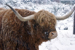 Winter cattle royalty free stock photo