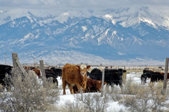 Winter cattle. Cow stares from behind barbed wire fence in snowy field Royalty Free Stock Images