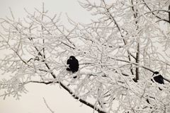 Winter Caucasian black rooks sitting among the snowy branches of. Winter Caucasian black rooks sitting among white snowy tree branches in the late evening in stock image