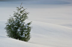 Winter Cedar Tree. A single cedar tree against a winter background stock photos