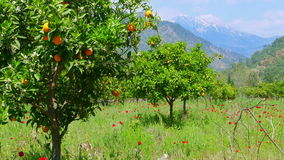 Winter change, Spring coming, orange trees over snowy mountain background stock video footage