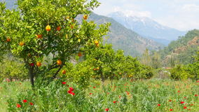 Winter change, Spring coming, orange trees over snowy mountain background stock video