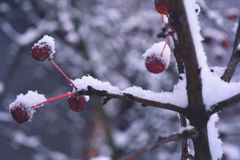 Winter cherry Stock Photography