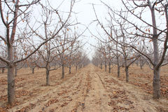 Winter cherry orchard Stock Photo