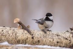 Winter Chickadee Stock Photography