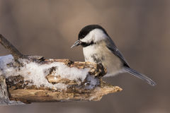 Winter Chickadee Royalty Free Stock Images