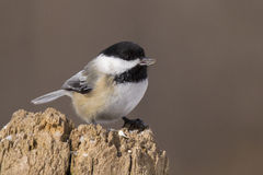 Winter Chickadee Royalty Free Stock Photos