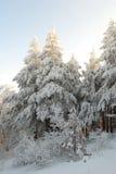 Winter chrismas pine trees Stock Photos