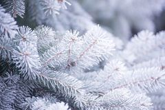 Winter and Christmas Background. Close-up Photo of Fir-tree Branch Covered with Frost. Stock Images