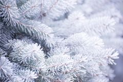 Winter and Christmas Background. Close-up Photo of Fir-tree Branch Covered with Frost. Royalty Free Stock Image