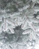 Winter and Christmas Background. Close-up Photo of Fir-tree Branch Covered with Frost. Stock Photography