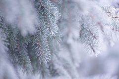 Winter and Christmas Background. Close-up Photo of Fir-tree Branch Covered with Frost. Stock Image