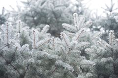 Winter and Christmas Background. Close-up Photo of Fir-tree Branch Covered with Frost. Royalty Free Stock Images