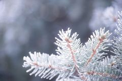 Winter and Christmas Background. Close-up Photo of Fir-tree Branch Covered with Frost. Royalty Free Stock Photos