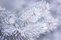 Winter and Christmas Background. Close-up Photo of Fir-tree Branch Covered with Frost. Royalty Free Stock Photo