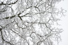 Winter and Christmas Background. Photo of Tree Branches Covered with Frost and Snow. Royalty Free Stock Photo